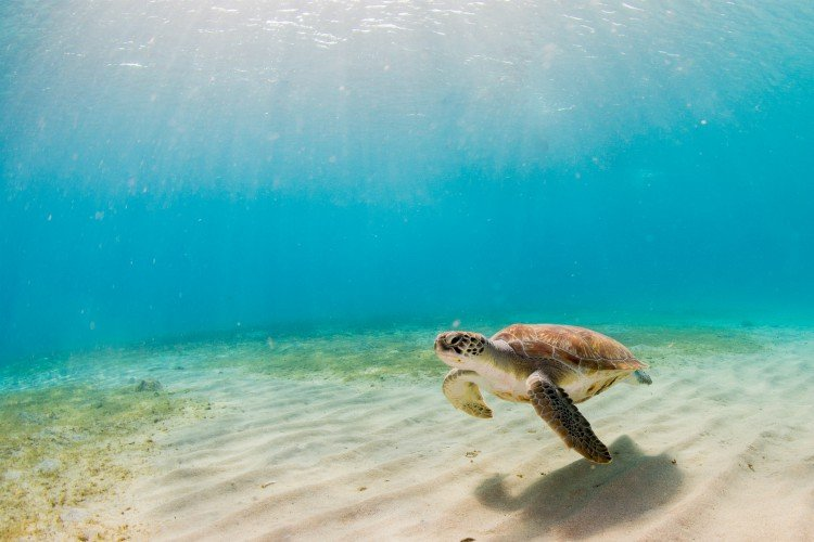 Sea Turtles Barbados